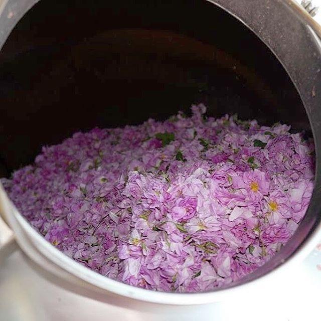 Bulgarian Roses#berjeInTheFields #berje #trakia