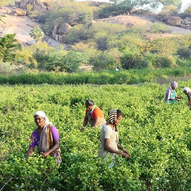 Mint harvesting in India #berjeinthefields #berje
