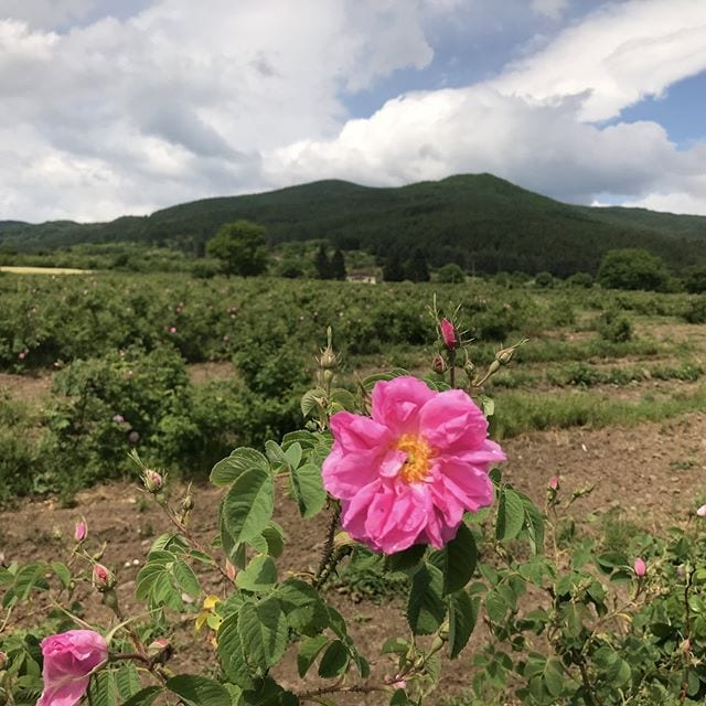 Checking on the Bulgarian Rose Harvest. #berjeinthefields