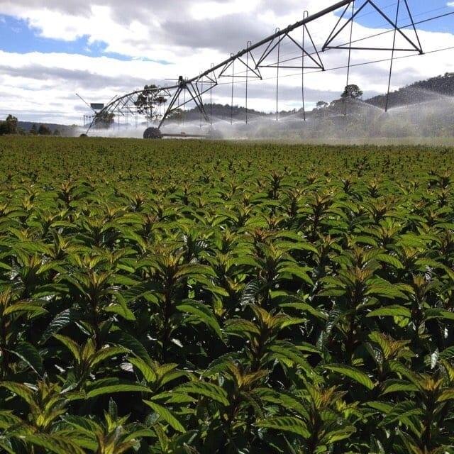 Tea Tree- Tasmania Australia #berjeinthefields